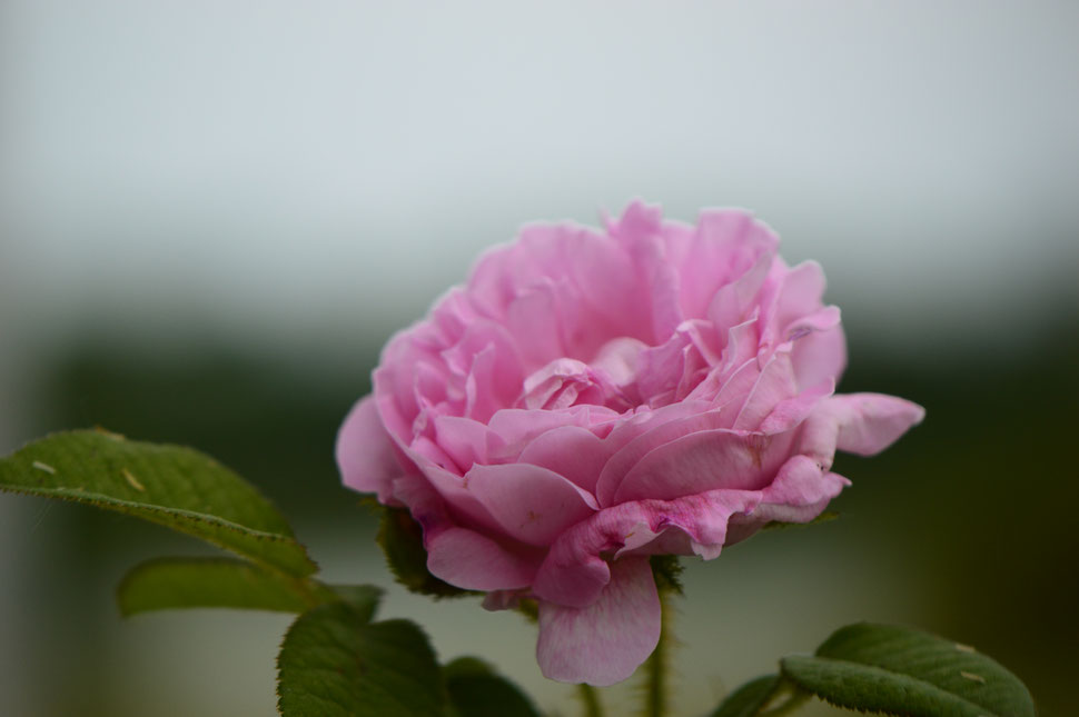 old pink moss rose