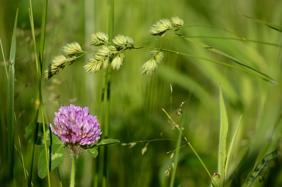 trifolium pratense with grasses