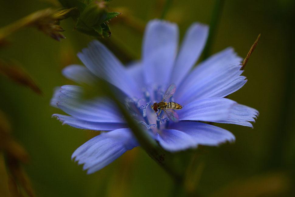 cichorium intybus, chicory flower