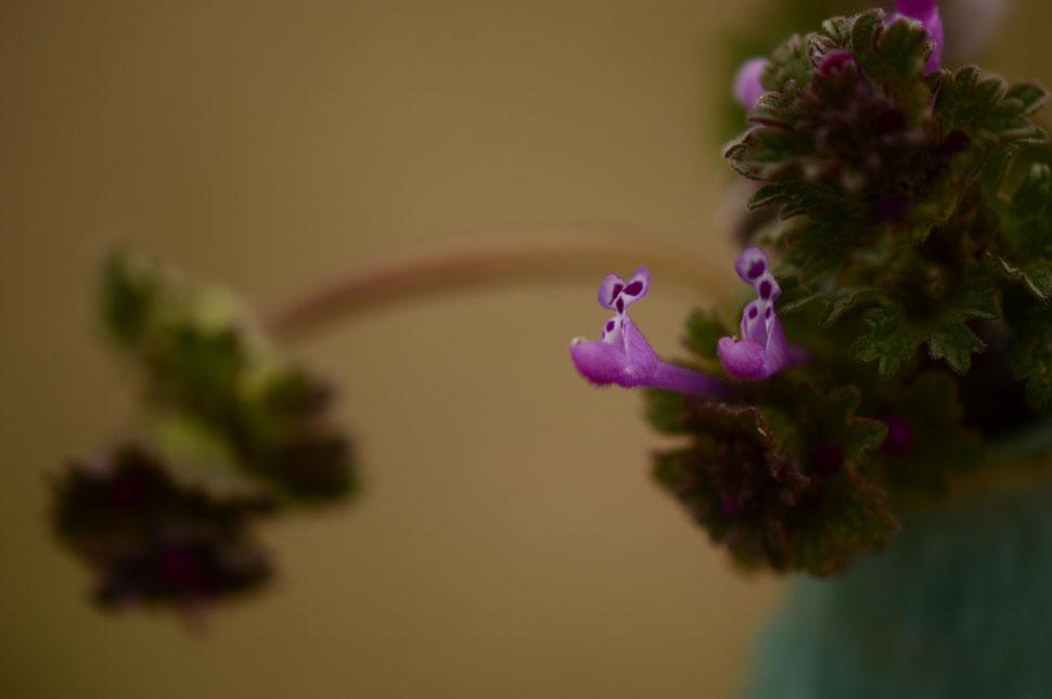 henbit (Lamium amplexicaule) for In a Vase on Monday