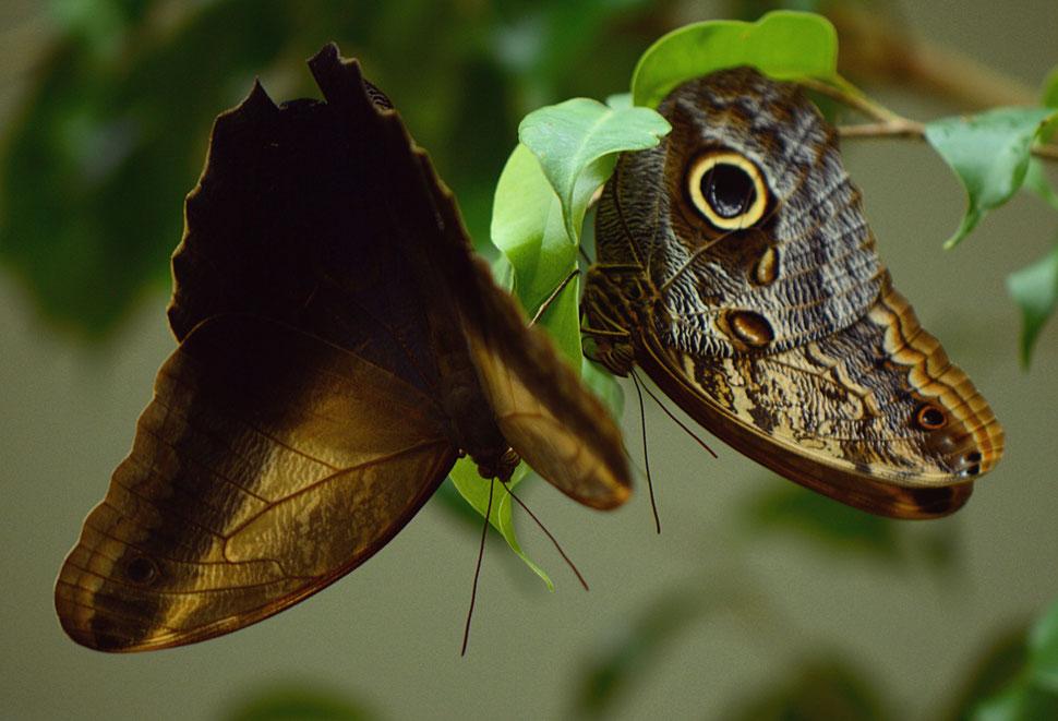 Caligo eurylochus