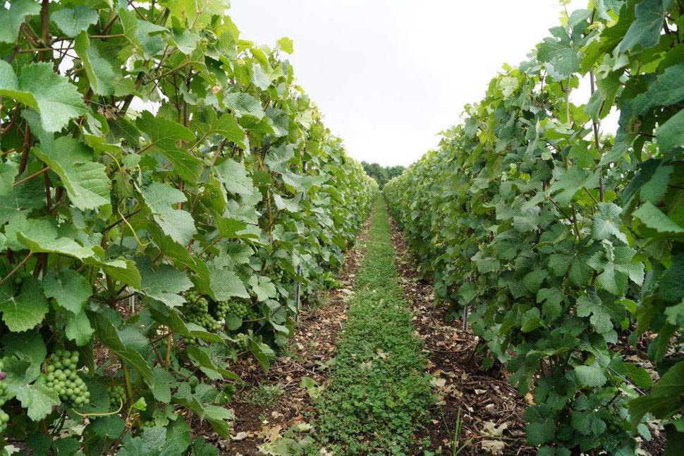 Le vignoble de Vallées-en-Champagne s'étend sur 243 hectares.