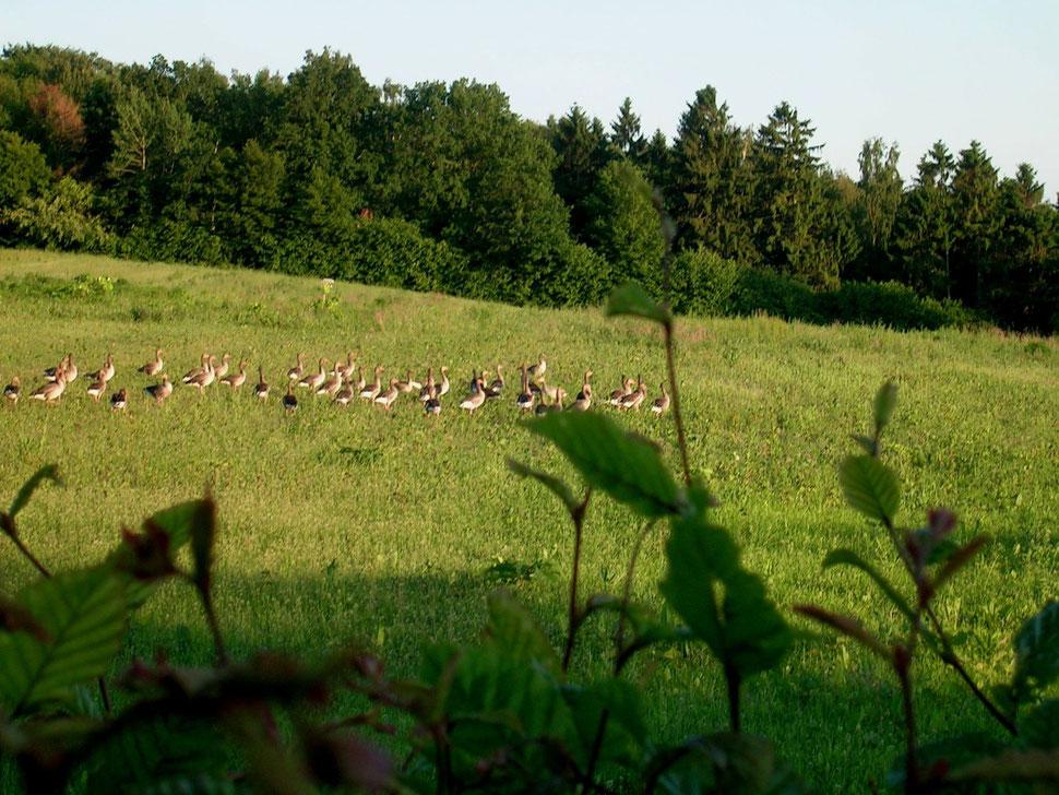 Wildgänse nahe Kuhlsee bei Gleschendorf