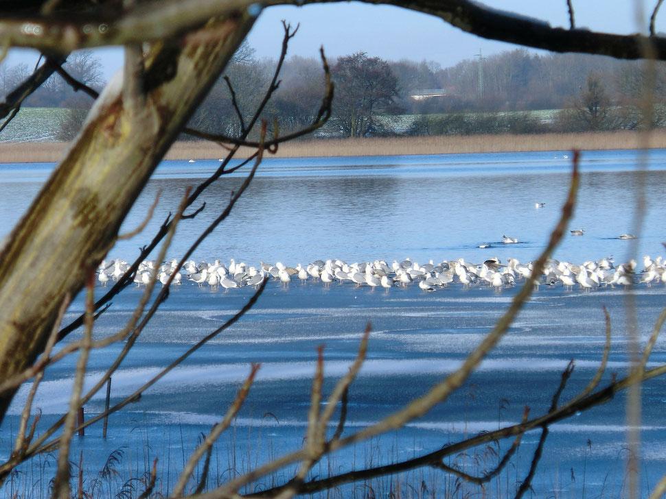 Gr. Pönitzer See bei Klingberg- ein Revier für Wasservögel