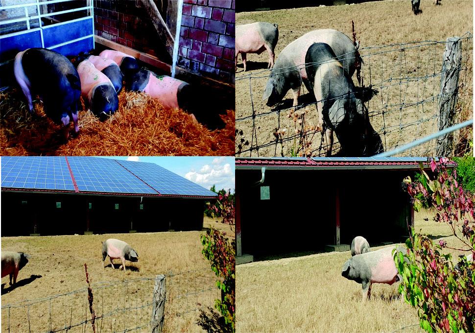 So dürfen die Schweine in Schwäbisch Hall leben.