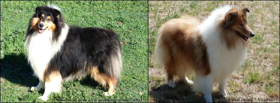Noticias news 1 rough collies shetland sheepdog for Juzgados de martorell