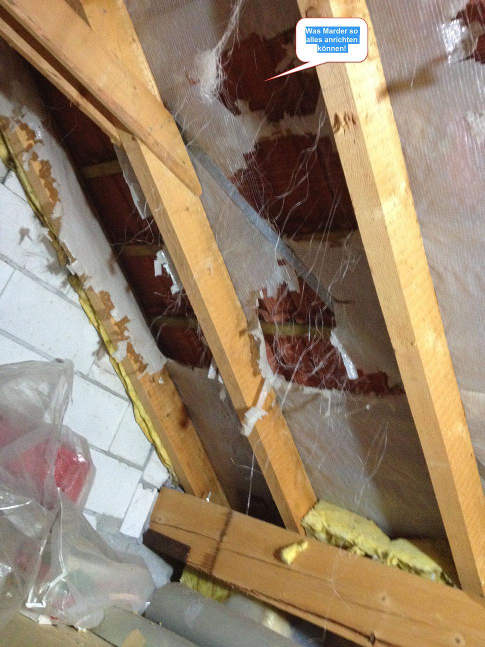 Marder zerstören hier die Dämmung unterm Dach eines Hauses. Der Schaden ist beträchtlich und kann Tausende von Euros betragen.