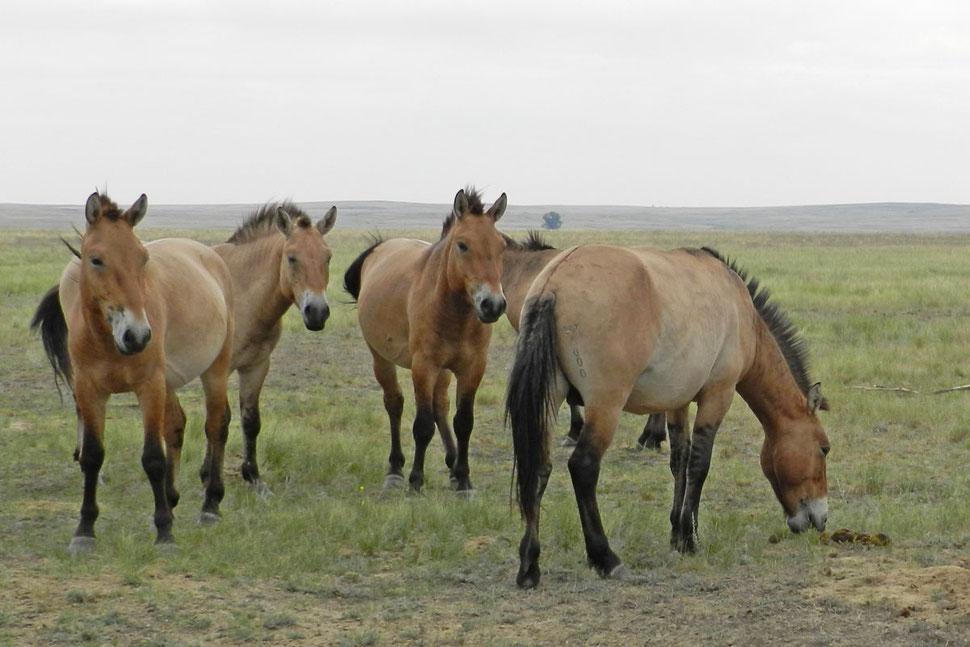 Przewalski-Pferde Orenburg Russland