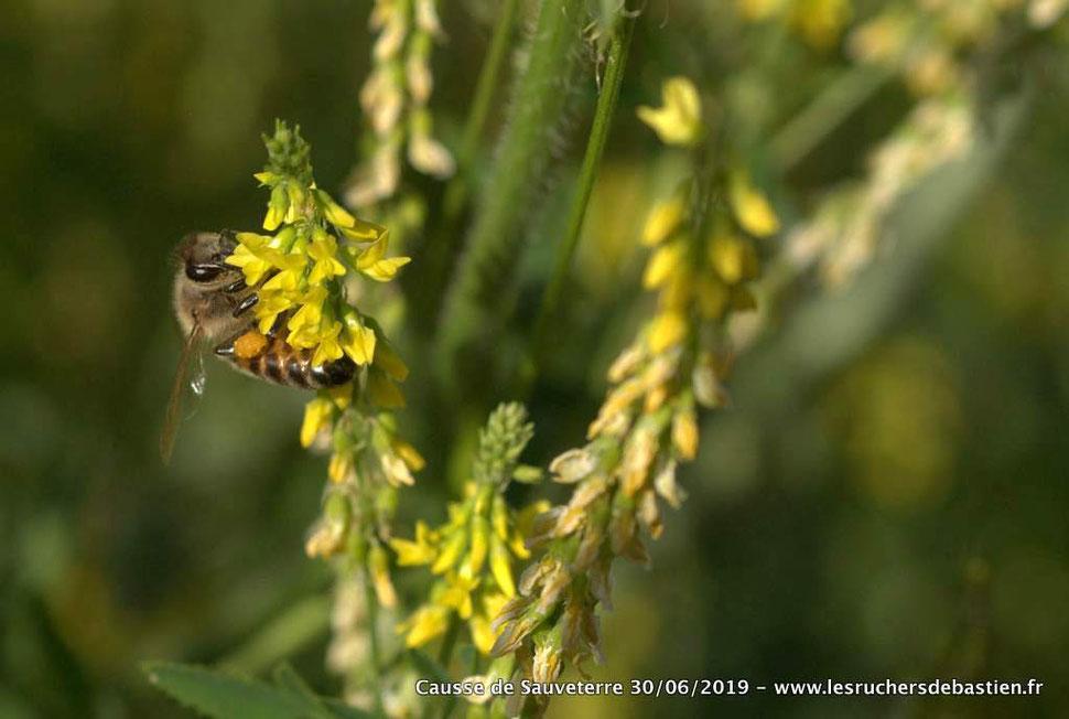 Mélilot jaune et abeille, Lozère