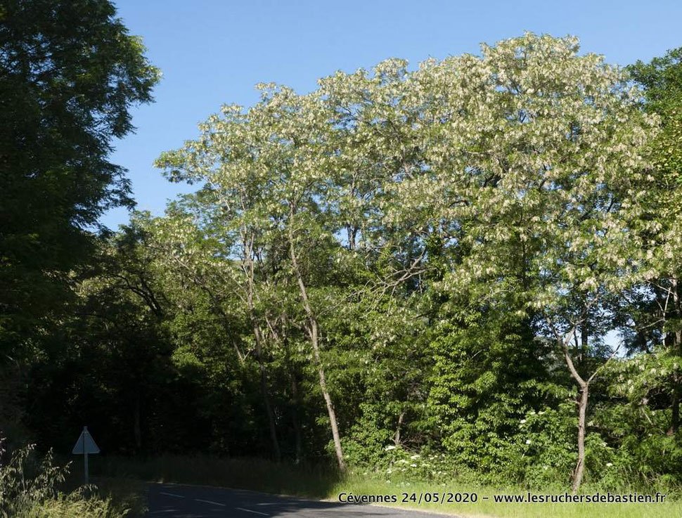 Robinia pseudoacacia fleuri en Cévennes lozère