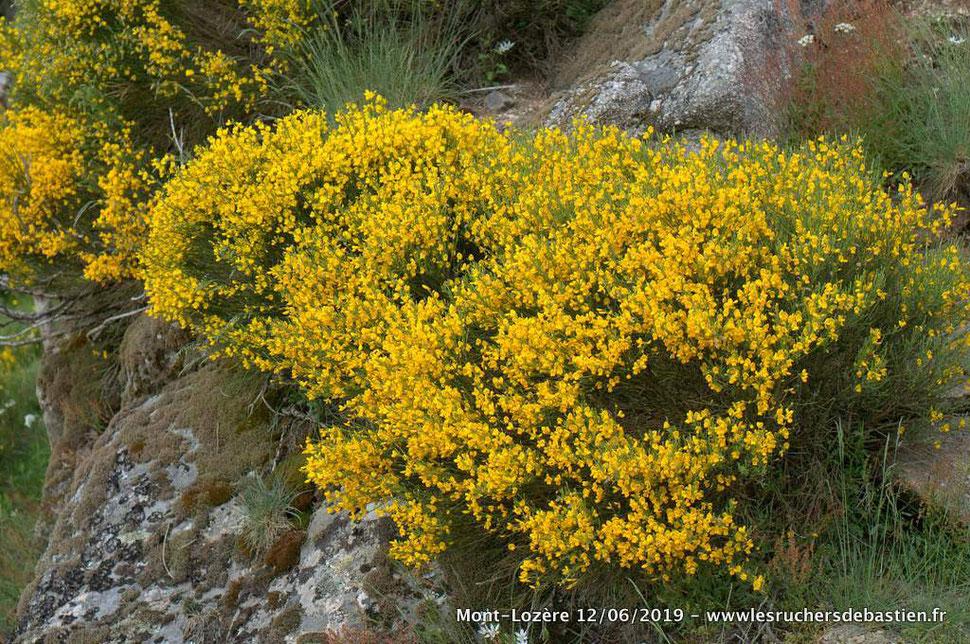 fleurs de Cytisus oromediterraneus Mont-Lozère 48