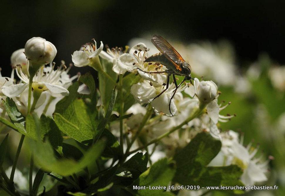 insecte Empis marqueté : tessellata Fabricius sur Crataegus monogyna