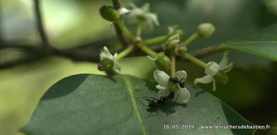 fleur de Houx et fourmis Cévennes