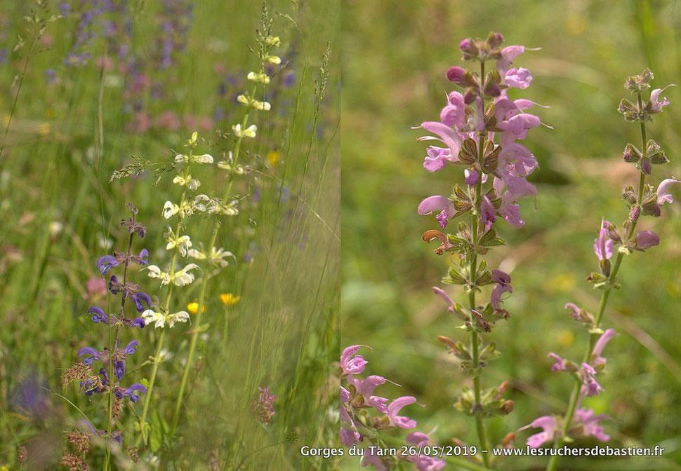 Salvia pratensis, bleue, blanche, rose, Gorges du Tarn