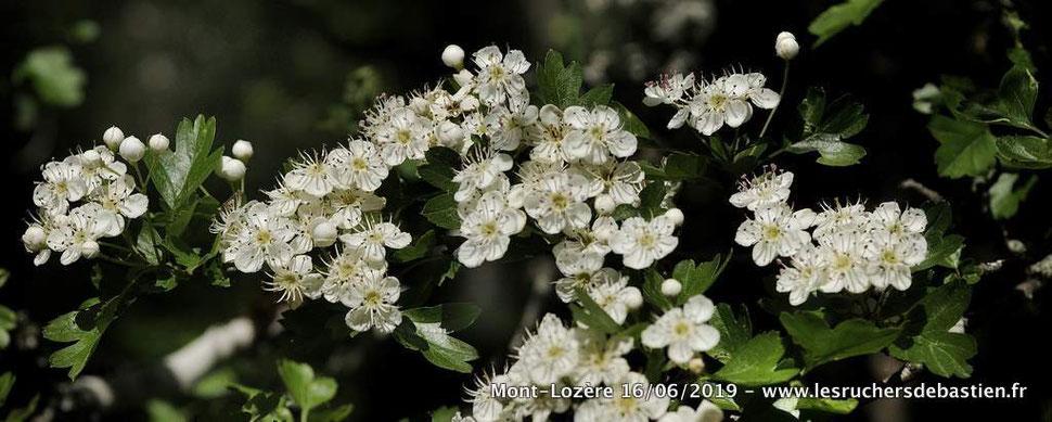 fleurs blanches de Crataegus monogyna Lozere