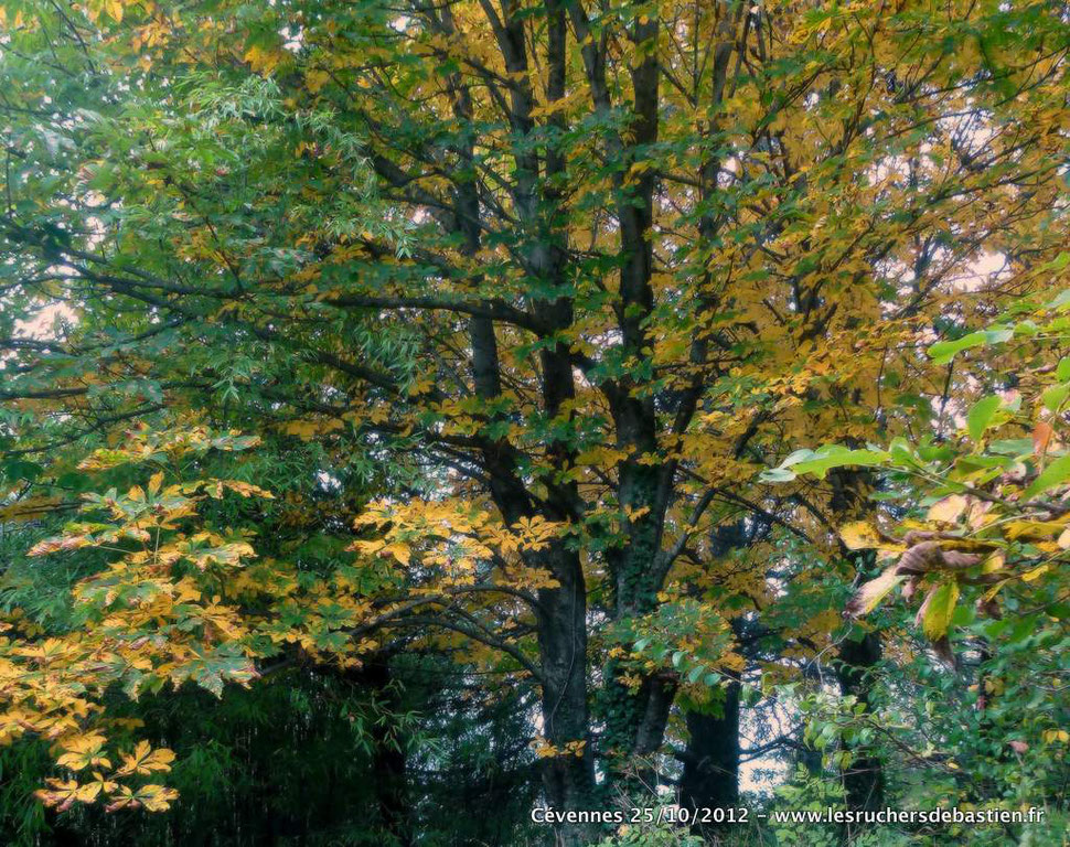 Marronnier en Cévennes automne