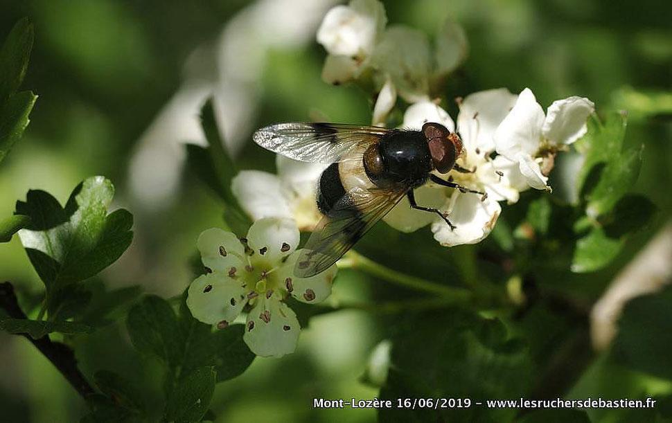 Insecte Volucella pellucens famille des Syphidae sur Crataegus monogyna Lozère