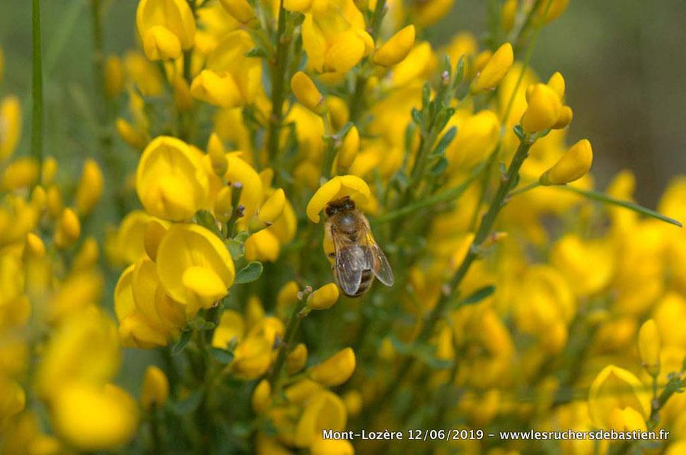 insecte Apis mellifera sur Cytisus oromediterraneus