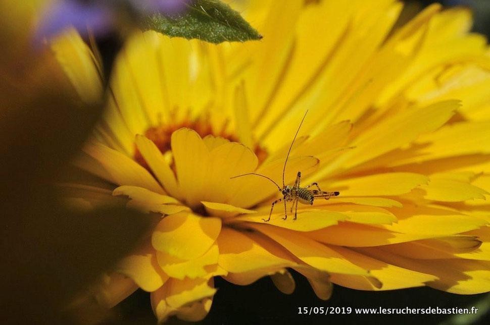Sauterelle juvénile & calendula officinalis, Cévennes
