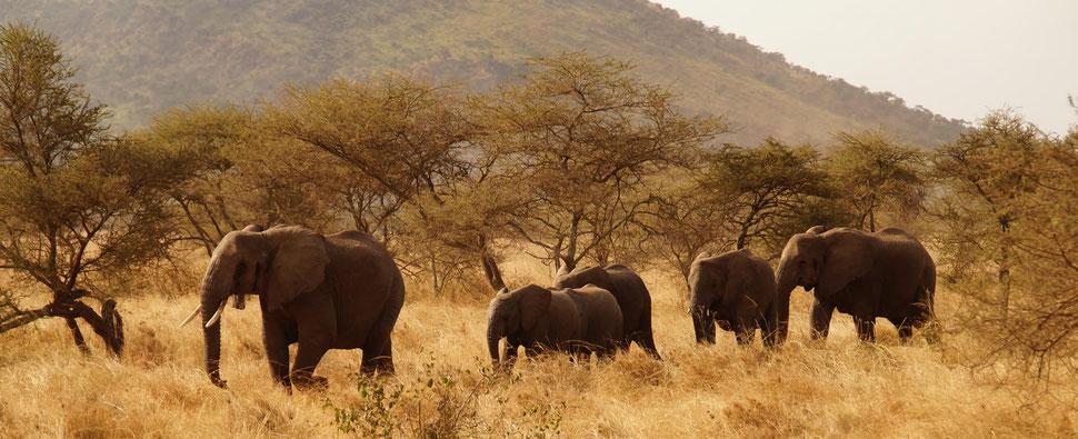 Elefanten-Kolone vor Akazien