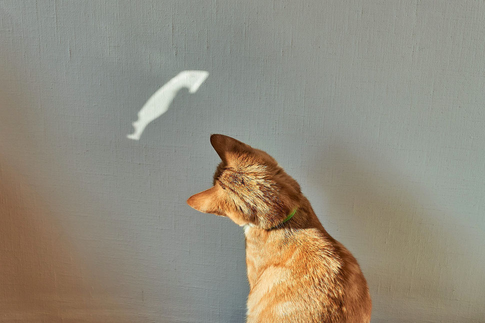 The image shows a photograph of a red cat starring at a light spot on a white wall.