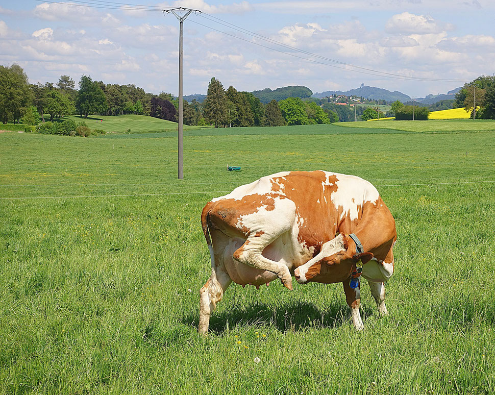 The image shows the photograph of a cow reaching with her mouth for her hind leg. The background is a countryside landscape.