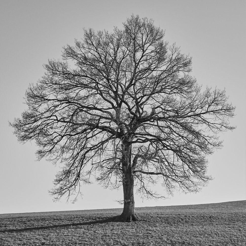The image shows the black and white photograph of a beautiful single tree without leaves standing on a field of grass.