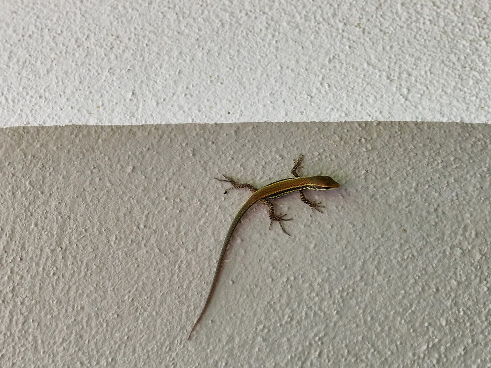The image shows the photography of a lizard on a painted house wall.