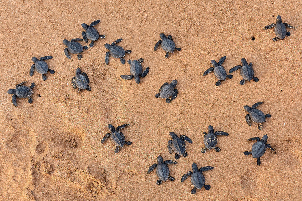 The image shows the aerial photograph of many freshly hatched sea turtles crawling on the sand of a beach in Ghana.