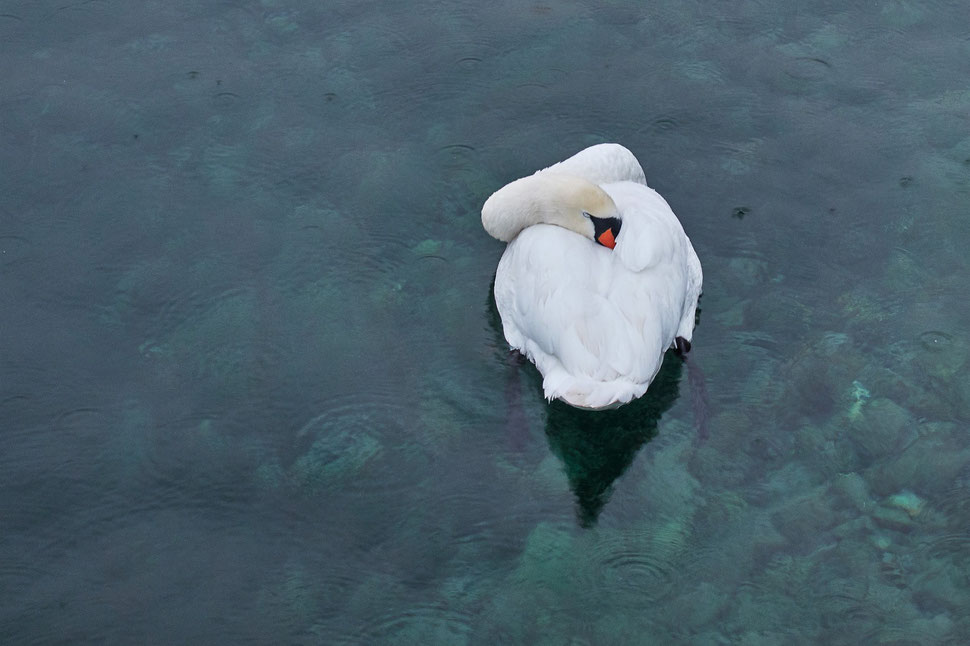 The image shows a photograph of a sleeping bright white swan against the dark background of green blue water.