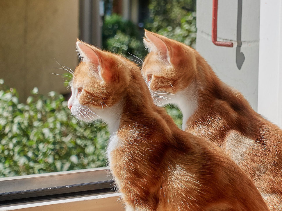 The image shows the photograph of two red kittens sitting on a table looking out the open window in perfect synchronization.
