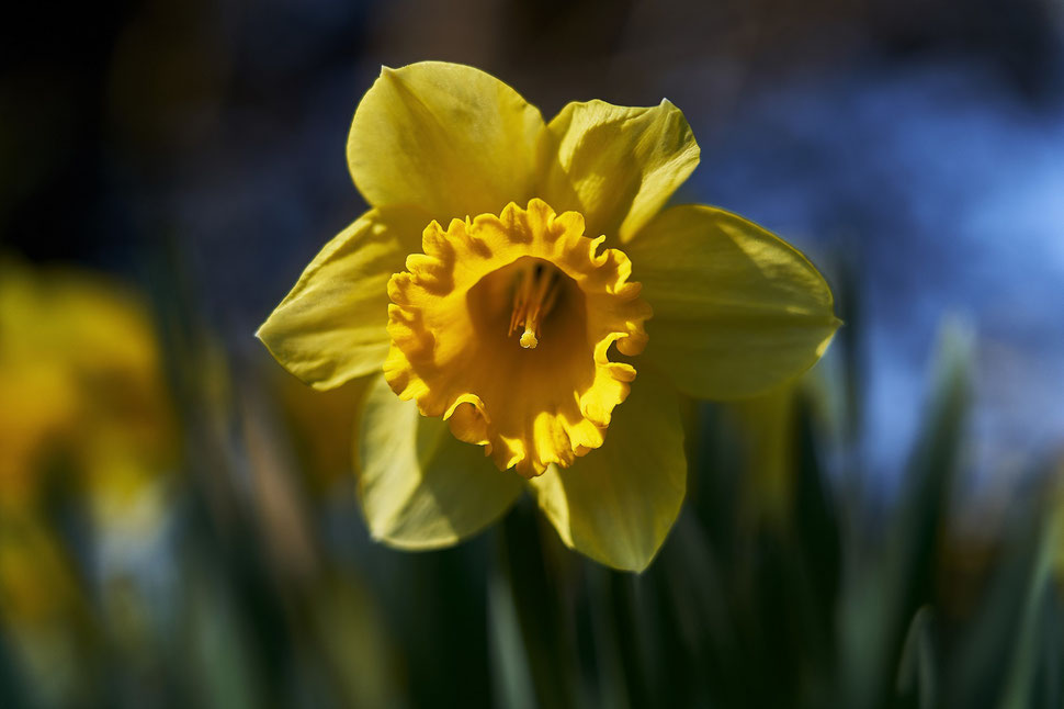 The image shows the close-up photograph of a bright yellow daffodil against a blurred dark background.