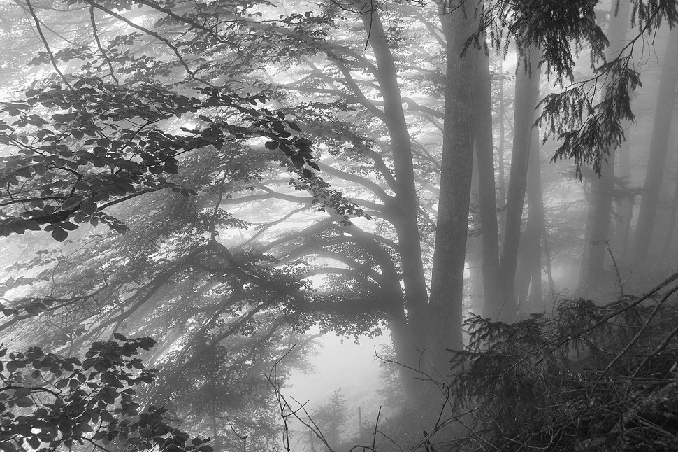 The image shows a black and white photograph of trees that are partly covered by fog, which is illuminated by sunlight.
