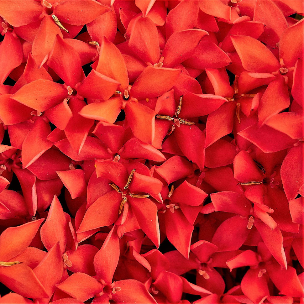 The image shows a marco photograph of the red petals of a tropical flower.
