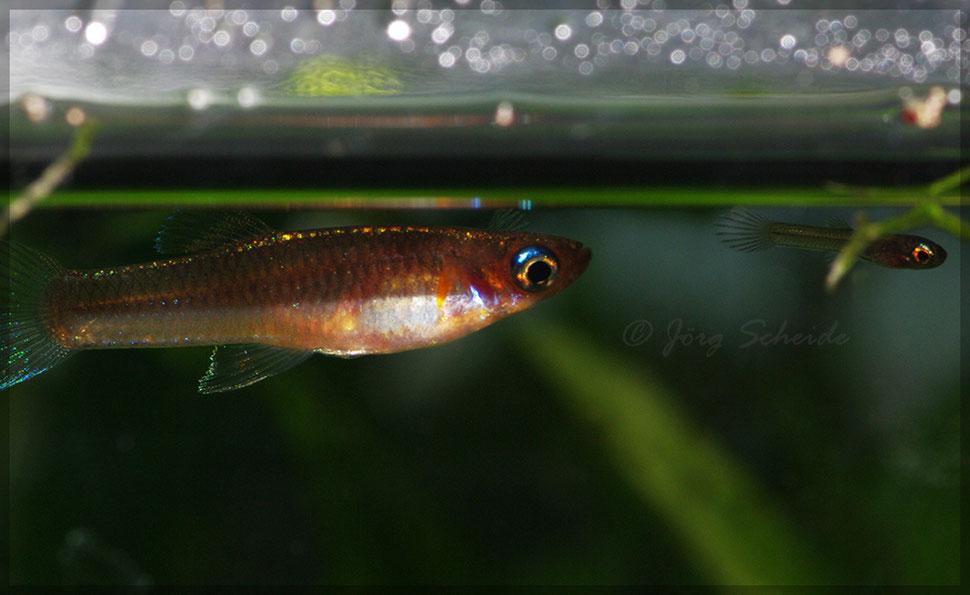 Priapichthys nigroventralis