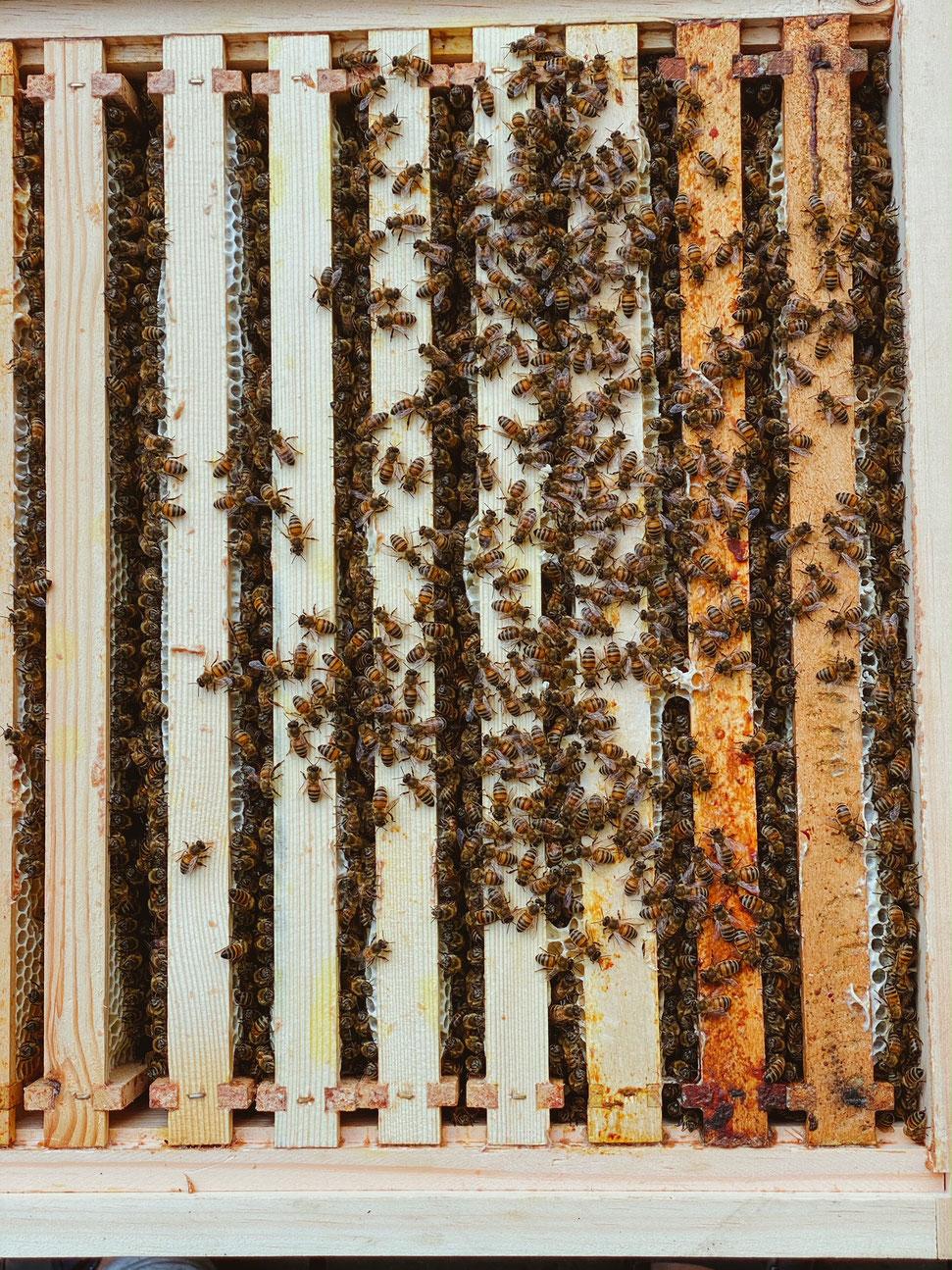 Bienenvolk in Liebig Beute, Imker, Jungimker, Bienenzuchtverein, Bienen, Merkstein, Heinsberg-Merkstein, Imker, Verein, Honig