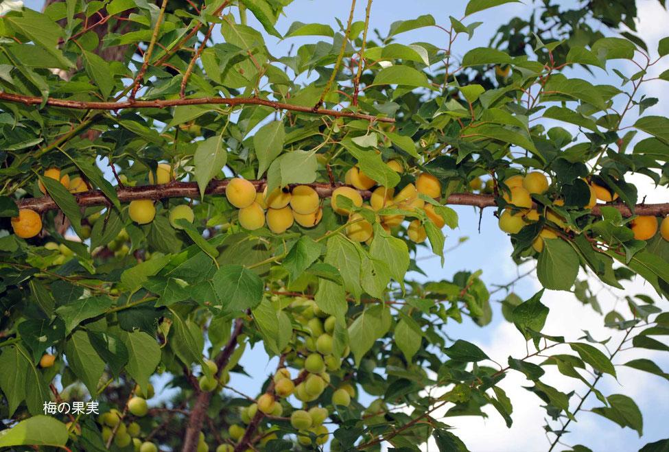 梅の果実-3
