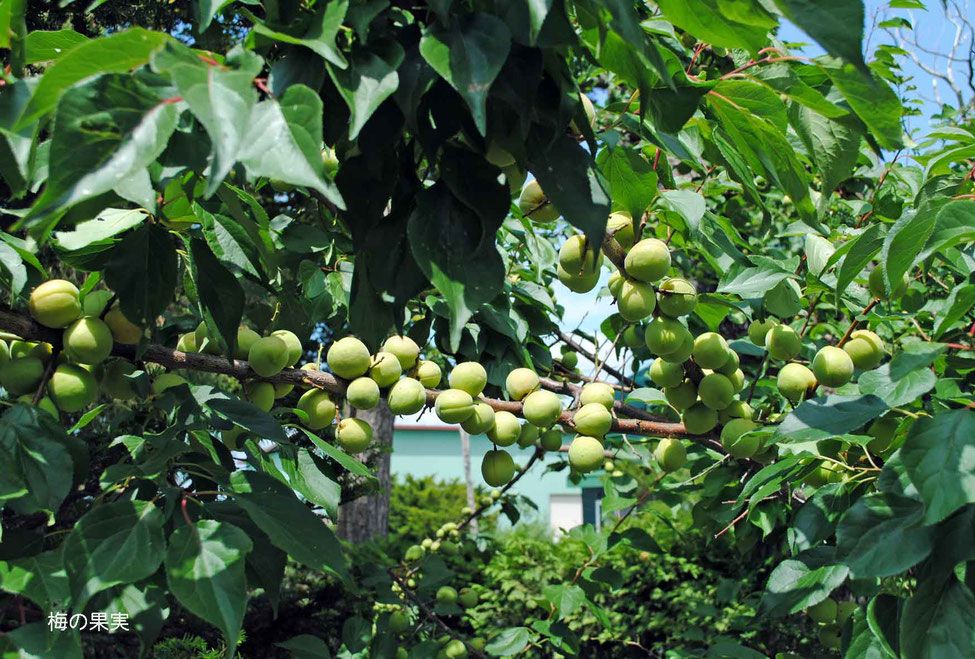 梅の果実-2