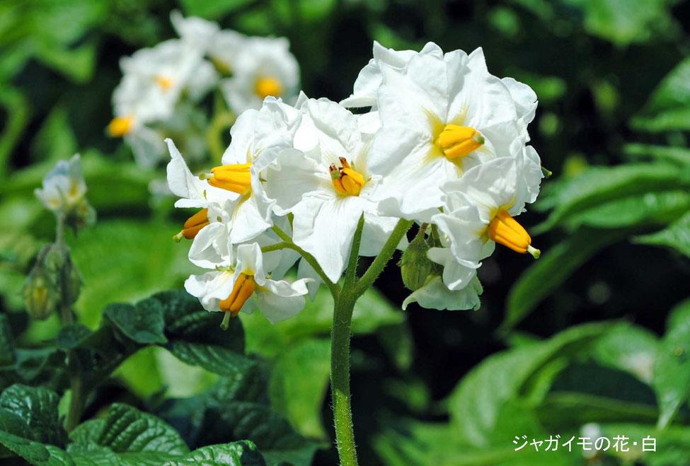 ジャガイモの花・白
