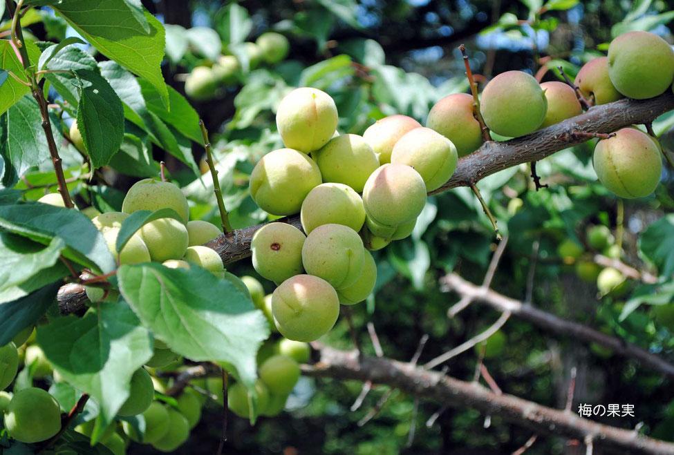 梅の果実-1