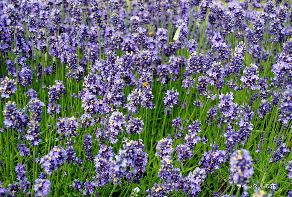ラベンダーの花と蜂