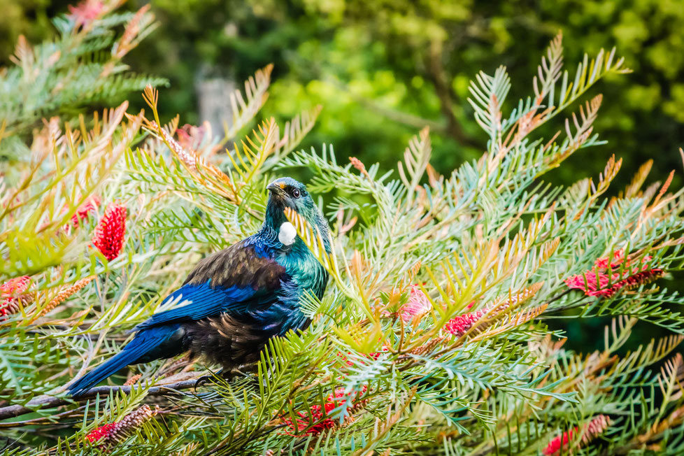 Colourful Tui bird amongst tree branches