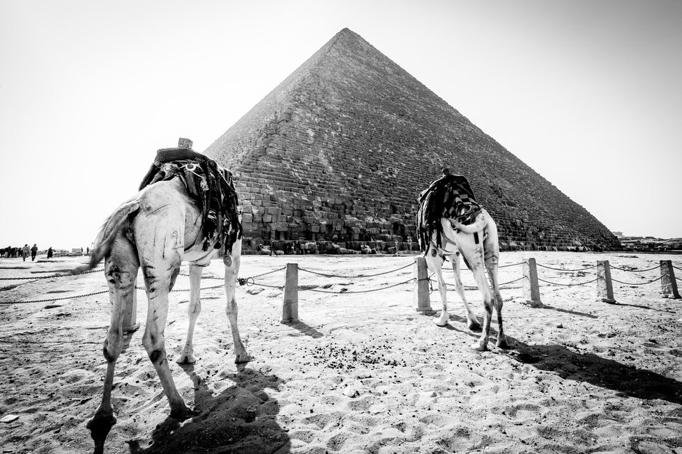 Two camels standing in front of the Pyramids of Giza
