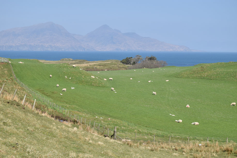 Isle of Muck sheep farm