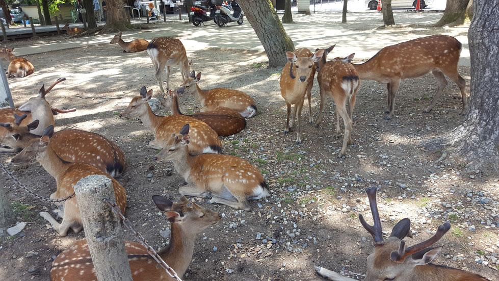 Cerfs Shika, cerfs de Nara