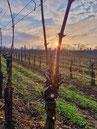Weinland, Thermenregion, Bad Vöslau, Weingarten, Handarbeit, Winter, Frühling
