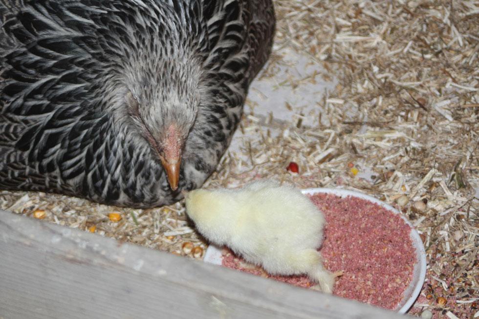 Eine Glucke zeigt ihrem Küken, was es fressen kann.