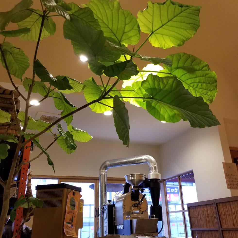 お店に来て葉が落ちたが、力強く新しい葉も育ってきてます
