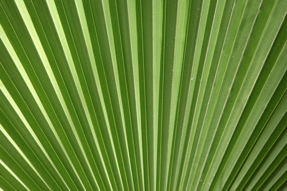 Feuille de palmier. Jardin Majorelle. Marrakech.