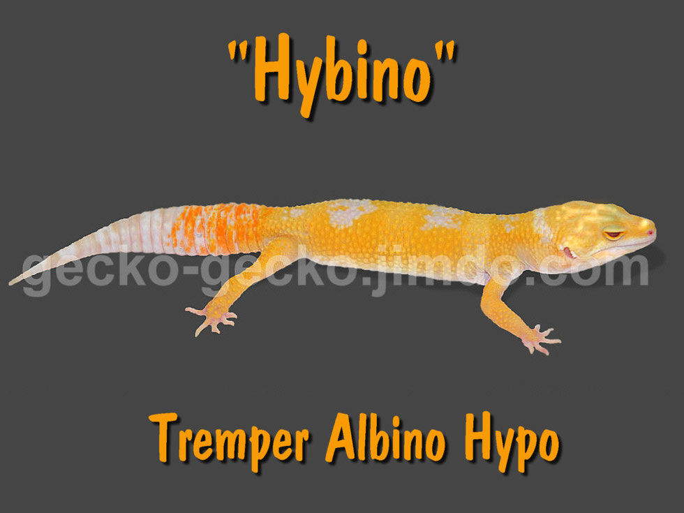 Hybino - Tremper Albino Hypo